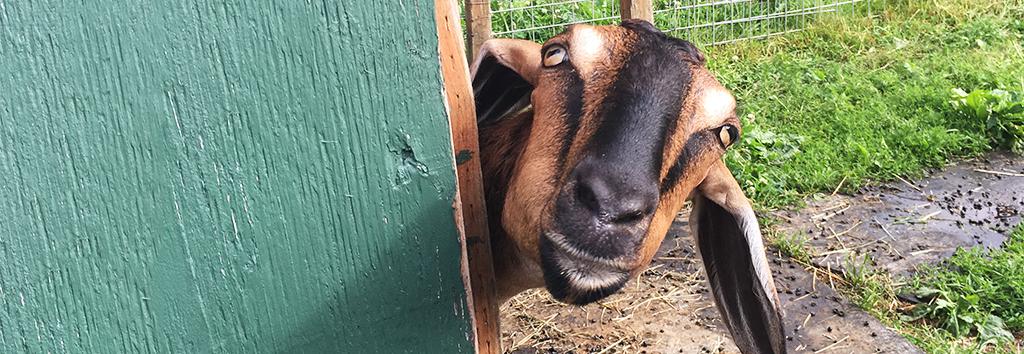 New Moon Farm – Goat Rescue & Sanctuary