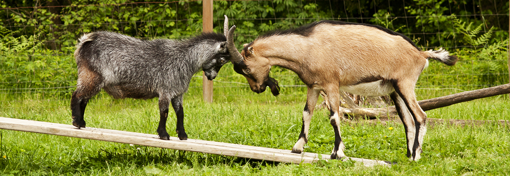 Goats 101 – How to Care for Goats – New Moon Farm